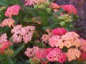 Yarrow, Yarrow, everywhere!
