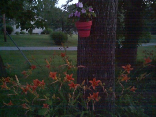 A Walnut Tree, Lots of Daylillies, and my perfect porcelain pot...